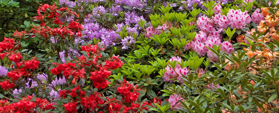 Rhododendrons, Sheringham Park